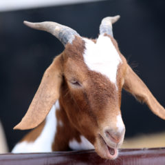 Hatton Goat