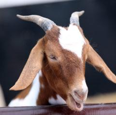 Hatton Goat