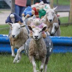 Hatton Adventure World Grand National Sheep Racing Attraction