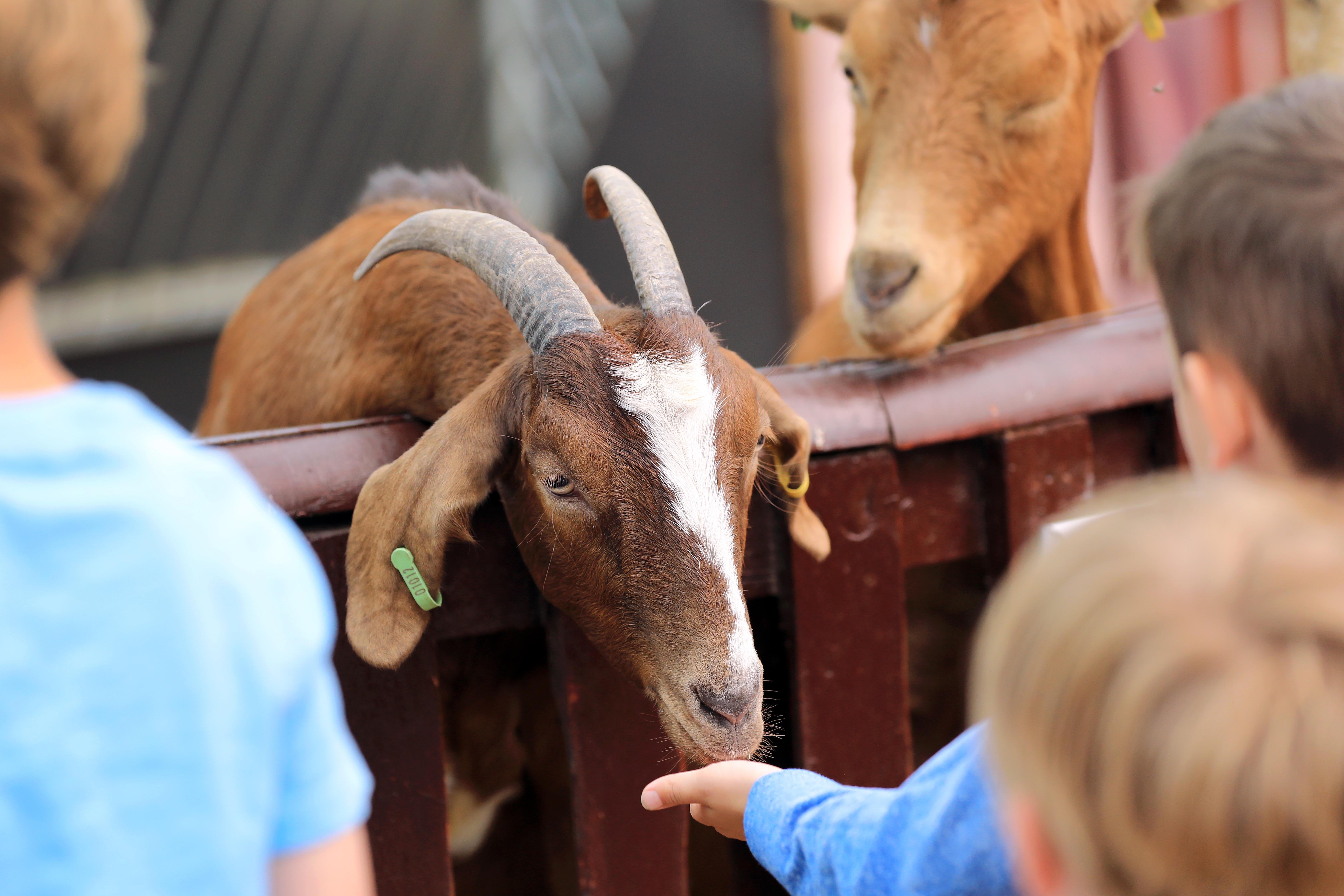 Hatton Goat Banner