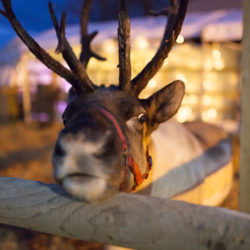 Hatton Christmas Reindeer