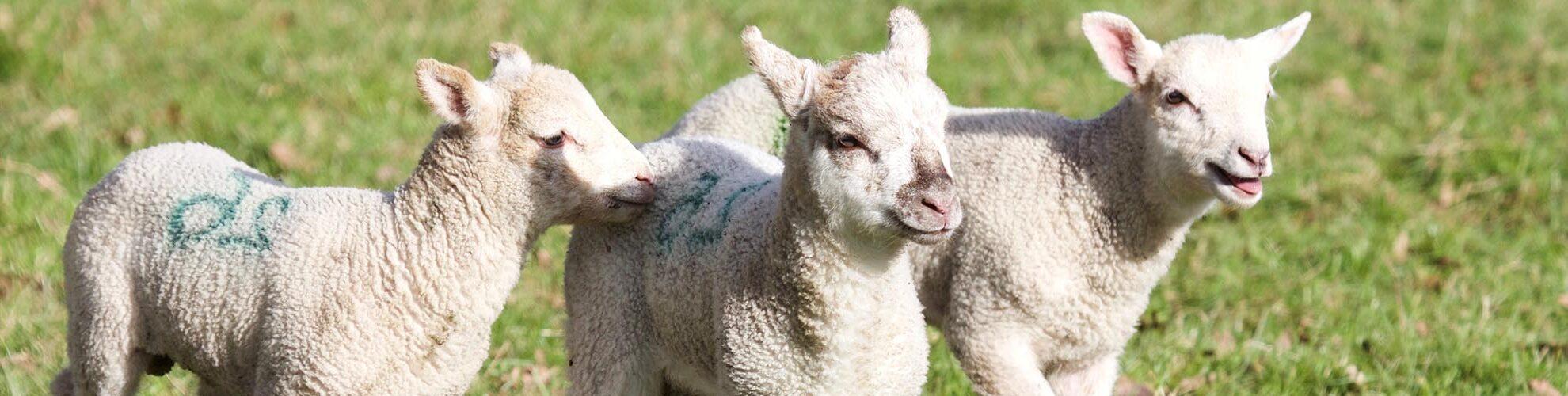 Hatton Adventure World Lambs