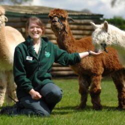 Hatton Adventure World Llamas