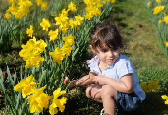 Hatton Adventure World PYO Daffodils