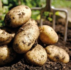 Hatton Adventure World PYO Potatos