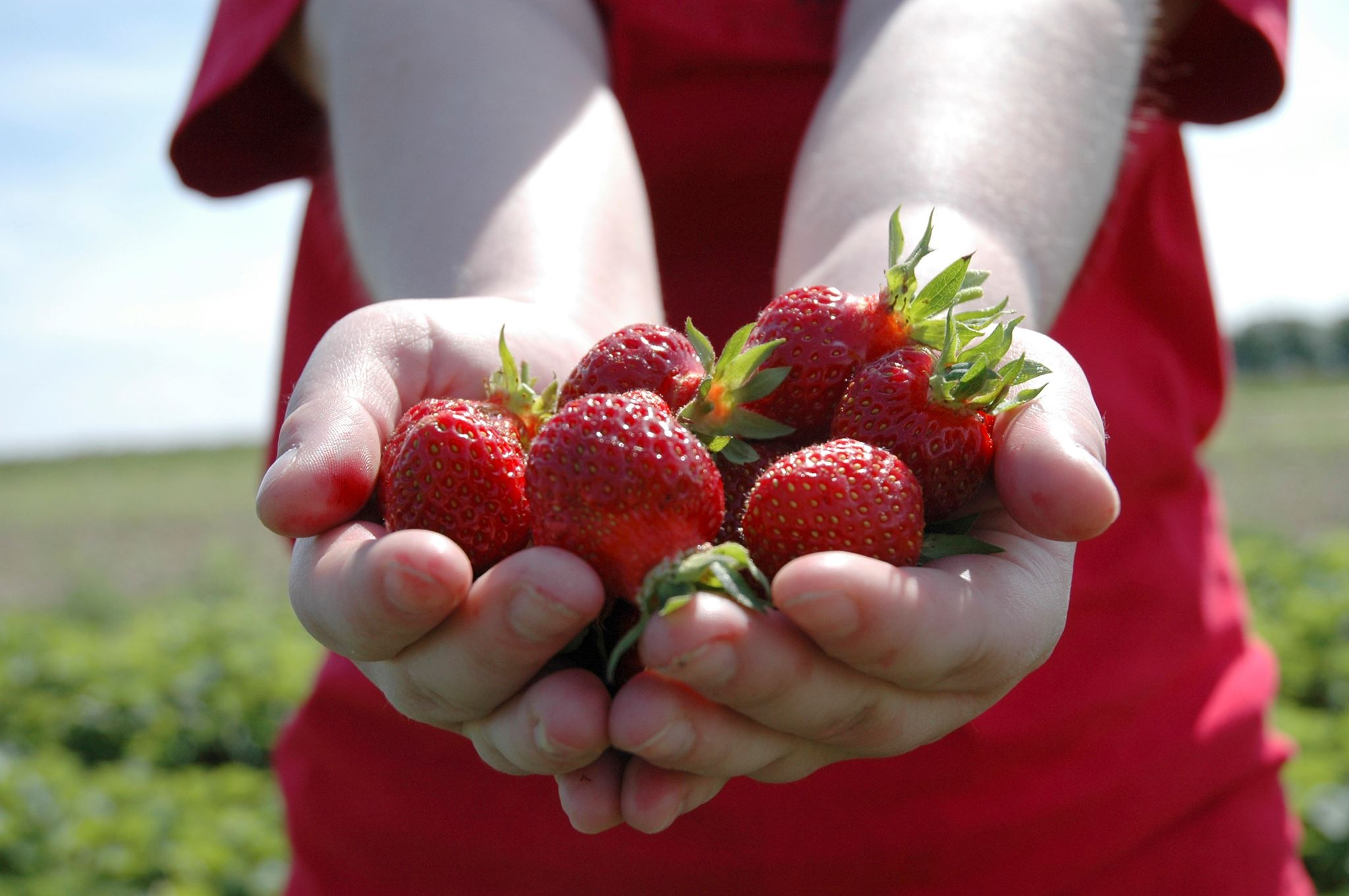 Hatton Adventure World PYO Strawberries