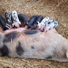 Hatton Adventure World Piglets
