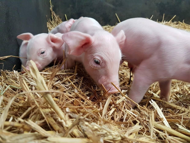 Hatton Baby Piglets Banner