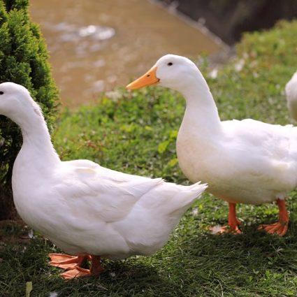 Hatton Ducks
