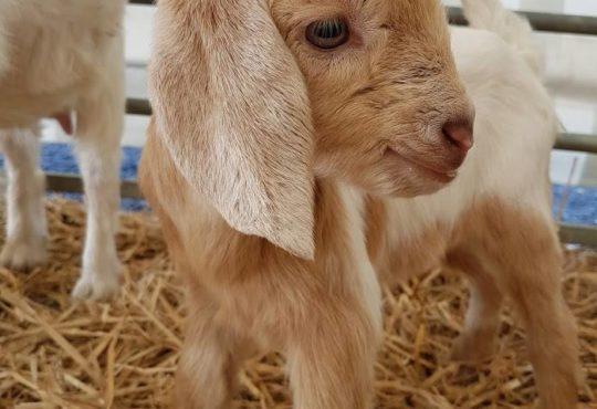 Hatton Baby Goat