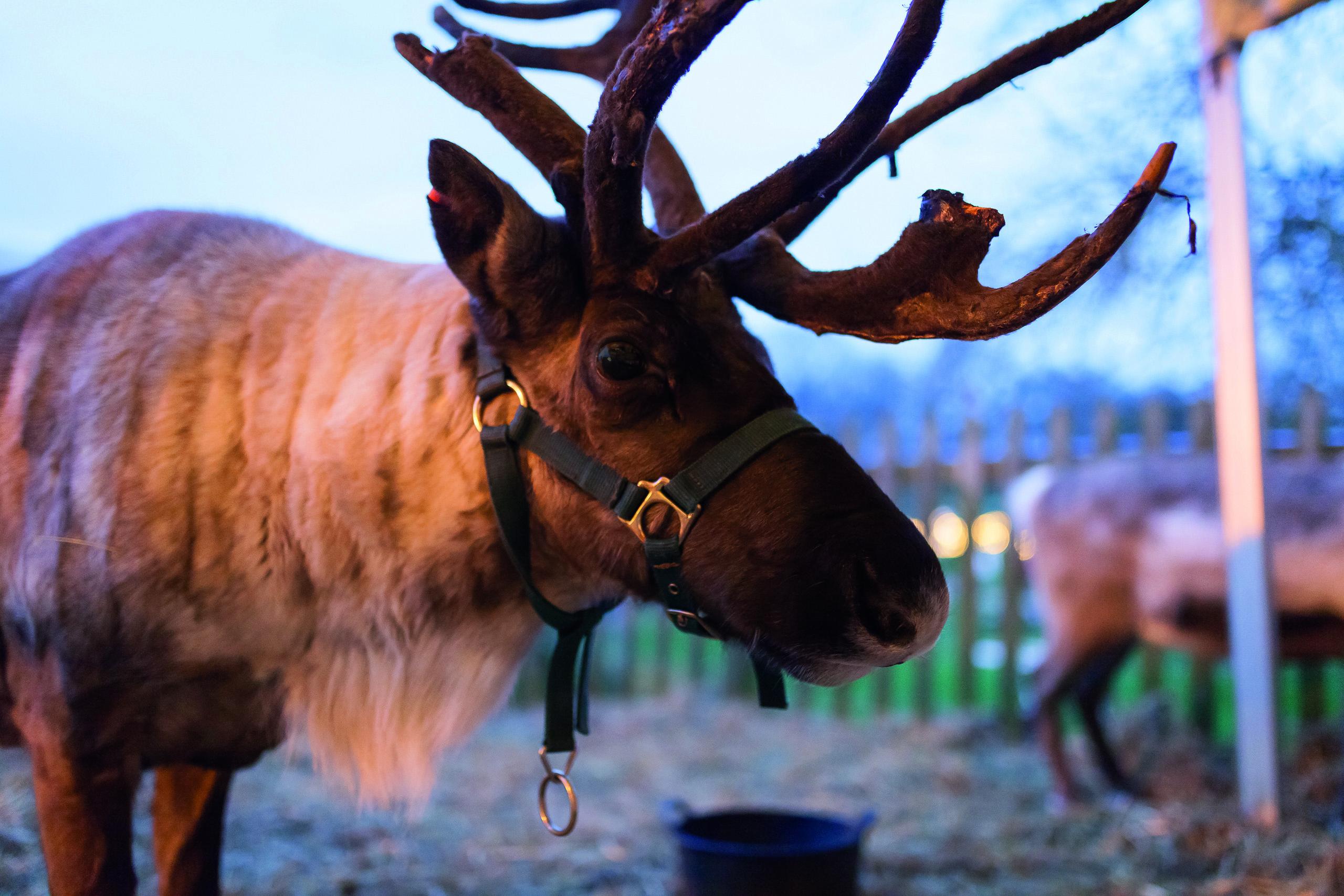 Hatton Enchanted Christmas Reindeer