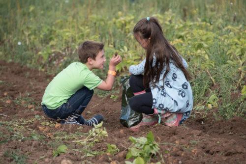 Potato Picking at Hatton